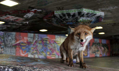 Urban fox Natural World – Unnatural History of London